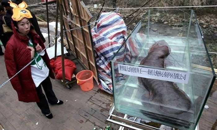 Báo chí Trung Quốc tháng 1/2015 đưa tin về việc một số quan chức nước này đã tổ chức ăn tiệc với một con kỳ nhông. Ngay lập tức họ bị điều tra vì bữa tiệc xa hoa trên. Loài kỳ nhông khổng lồ Trung Quốc, con trưởng thành có thể phát triển lên gần 180cm, là loài động vật hoang dã đang trong tình trạng nguy cấp. Ảnh: Con kỳ nhông khổng lồ lớn nhất trên thế giới tại Trung Quốc.