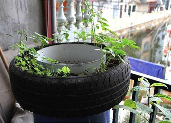 Trồng rau trong lốp xe.