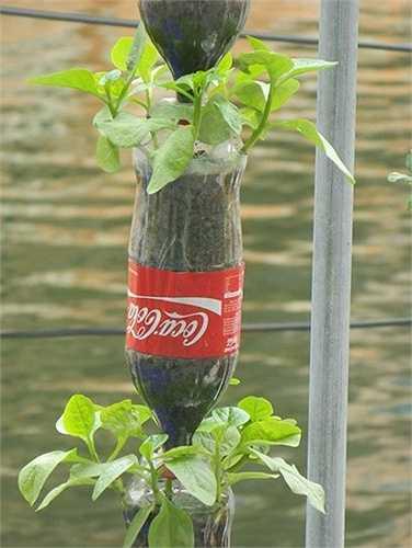 Tận dụng các vỏ chai nước ngọt, anh Tuấn tạo ra một hình thức trồng rau thú vị khác.
