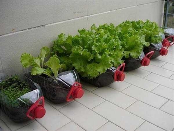 Với nhiều loại chai nhựa khác nhau, vườn rau của chị Phương sinh động với nhiều kiểu thiết kế tiện dụng. Với kiểu trồng rau trong chai nhựa này, chị có thể đặt trên sân thượng hay bất kỳ khu vực nào có chỗ trống, hoặc dùng dây treo lên tường, mái hiên, cửa sổ...
