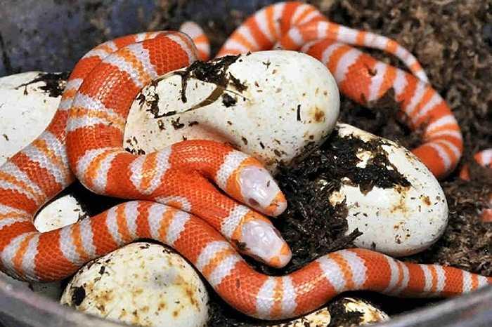 1. Rắn sữa 2 đầu. Con rắn sữa Albion từ Honduras được cho là nổi tiếng nhất thế giới. Nó được ra đời cuối năm 2011 vừa qua. Thậm chí, nó còn sở hữu một facebook riêng
