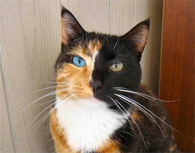 3. Mèo Venus. Con mèo này có gene đặc biệt khiến cho lông mặt 2 bên khác màu nhau và 2 màu mắt khác nhau