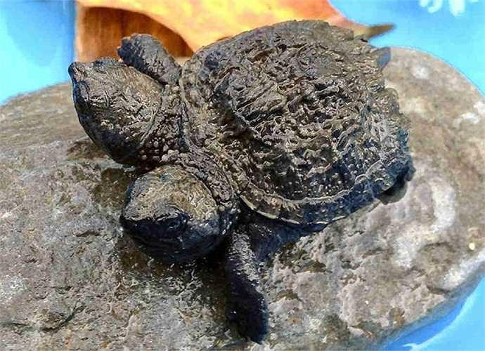 8. Rùa hai đầu. Vào tháng 9/2014, một phụ nữ ở Tiểu bang Maine đã phát hiện một chú rùa  đầu và cô đặt tên cho nó là Frank and Stein. Sau một tháng, các thông tin về chú rùa này xuất hiện rầm rộ nhưng sau đó thưa dần và chìm vào quên lãng