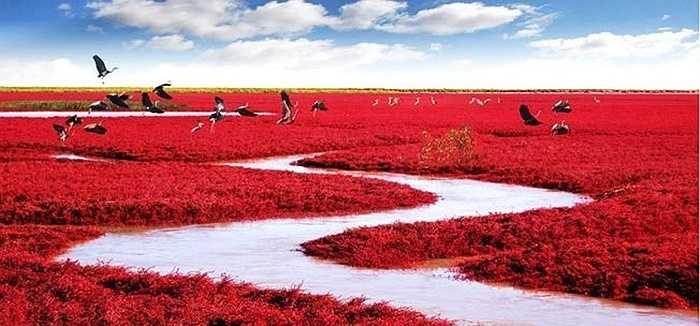 Biển Đỏ (Red Beach) ở Trung Quốc nổi tiếng thế giới khi bãi biển đỏ thẫm do sự phát triển của một loài cỏ dại phát triển vào mùa thu.