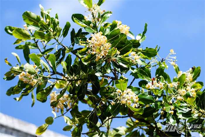 Cành hoa mù u trắng muốt trên đảo Sinh Tồn