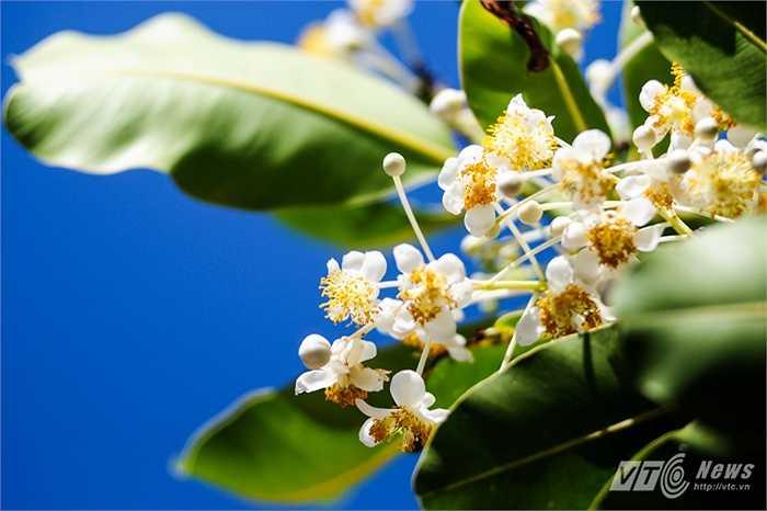 Đây là cây mù u lâu năm sống trên đảo Sinh Tồn