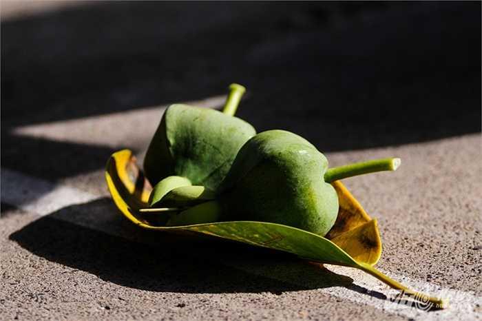 Quả bàng vuông, một trong những đặc điểm nổi bật về thực vật trên quần đảo Trường Sa