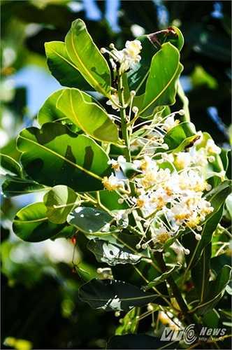 Hoa mù u trắng, thơm như hoa bưởi