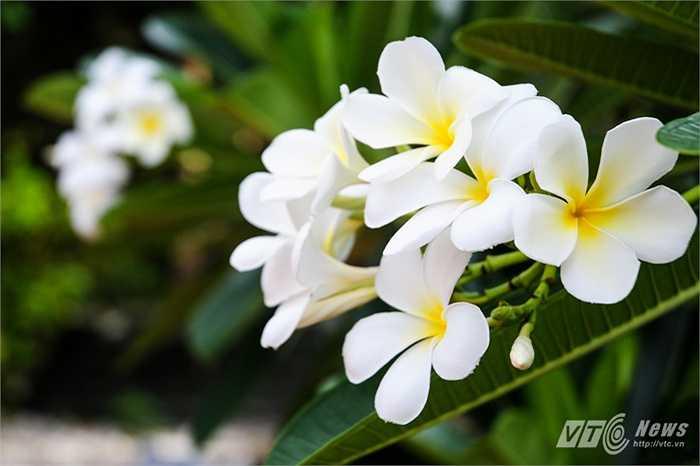 Đóa hoa sứ trắng ở chùa trên đảo Trường Sa lớn