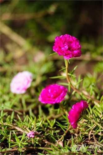 Hoa mười giờ được trồng trên đảo Sinh Tồn