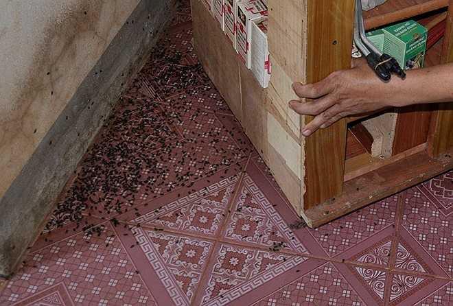Bọ đậu đen dày đặc trong góc nhà. Người dân ở ấp Lạc Sơn phải dùng vải hoặc bông bịt kín lỗ tai trẻ em khi ngủ để đảm bảo an toàn
