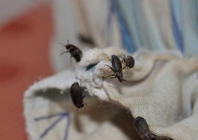 Bọ đậu đen là loài cánh cứng, di chuyển nhanh, có tên khoa học Mesomorphus villiger, thuộc bộ Coleoptera, họ Tenebrionidae. Chúng sống trong đất, có mùi hôi gây khó chịu cho con người.
