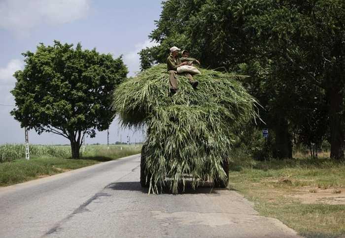 Một người nông dân ngồi vắt vẻo trên chiếc xe kéo chở cỏ để nuôi động vật