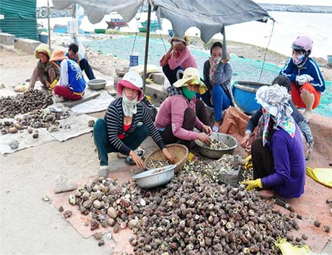 Hàng trăm lao động nữ Lý Sơn cũng có thu nhập mỗi ngày từ 200.000 đến 300.000 đồng  từ việc đập vỏ lấy ruột ốc xà cừ bán cho thương lái.