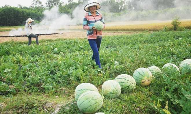 Dưa hấu Quảng Nam, Quảng Ngãi