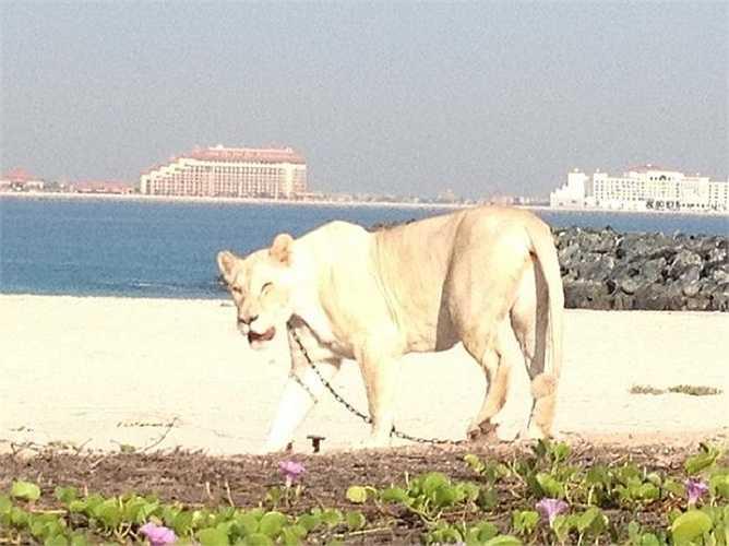 Vào một buổi sáng sớm ra biển tập yoga, một du khách đã mắt tròn mắt dẹt khi nhìn thấy ở một phía bãi biển, một con sư tử trắng đang dạo chơi.