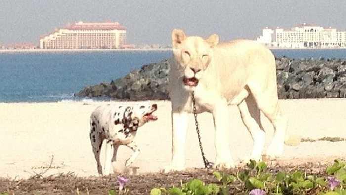 Ở Dubai, không hiếm những con thú thuộc dòng quý hiếm, độc lạ, có một không hai nhưng chúng thường được nuôi giữ trong chuồng hoặc được tìm thấy trong tự nhiên, chứ không phải thả rông trên bãi biển như thế này.