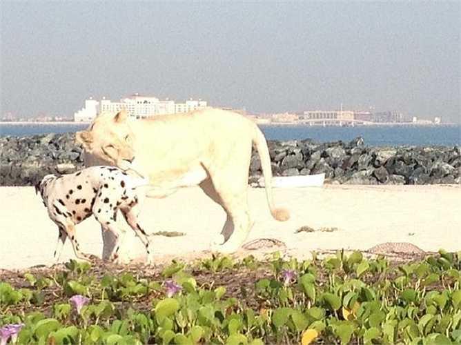 Hàng ngày, họ đưa con sư tử quý hiếm này đi dạo ven biển vào lúc 6 giờ 30 sáng.