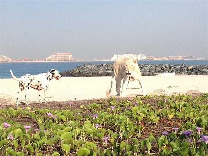 Được xem là một biểu tượng của địa vị, những loài thú quý hiếm được giới siêu giàu Dubai nuôi làm thú cưng. Mặc dù việc này đã gây rất nhiều tranh cãi trên các phương tiện truyền thông địa phương lẫn quốc tế.