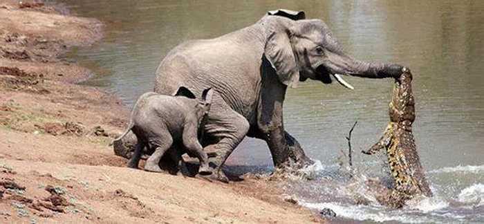 Hình ảnh voi mẹ chiến đấu với một con cá sấu săn mồi tại một vườn quốc gia châu Phi khiến nhiều người kinh ngạc