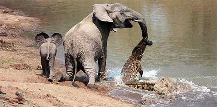 Theo nội dung hình ảnh, hai mẹ con nhà voi châu Phi đi dọc bờ sông thì một con cá sấu sông Nin tấn công voi mẹ