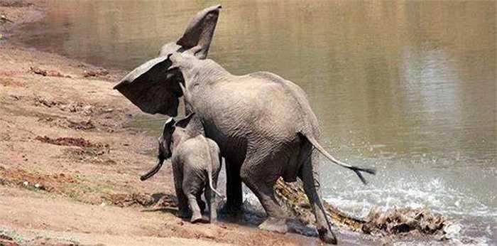 Với sức mạnh của mình, voi mẹ đã dùng vòi quật ngã và kéo cả cá sấu lên bờ
