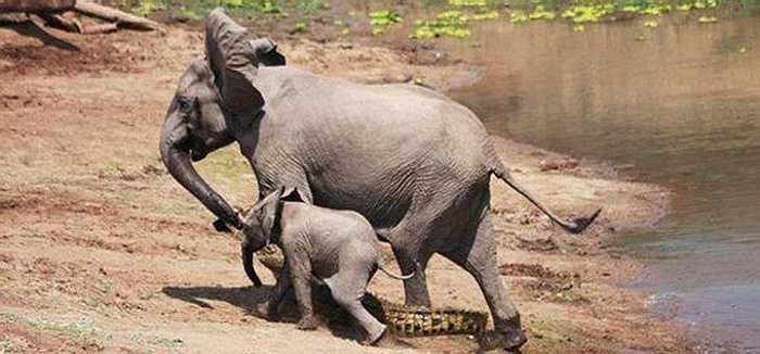 Cá sấu hung dữ đã phải khuất phục và nằm dưới chân của hai mẹ con nhà voi