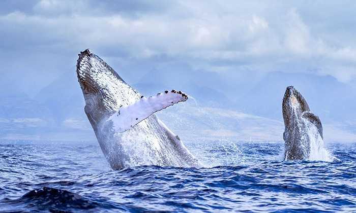 Nhiếp ảnh gia Jon - Cohen Flowserve  chuyên chụp động vật hoang dã mới đây đã chụp được hình ảnh hiếm thấy về cá voi lưng gù trên biển khu vực Hawaii