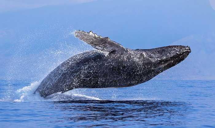 Theo nhiếp ảnh gia này, 2 con cá voi ước chừng khoảng 40 tấn nhảy vọt lên mặt nước. Đây là hình ảnh hiếm thấy, có thể chúng di chuyển đến khu vực sinh sản