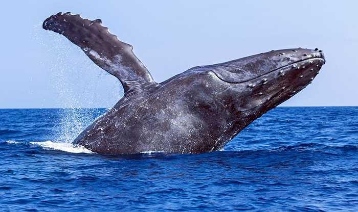 Cá voi lưng gù là tên của loài cá voi có những đường cong mềm mại trên cơ thể. Cá voi là loài động vật hiền lành, thường sống theo cặp, có tình yêu gắn bó