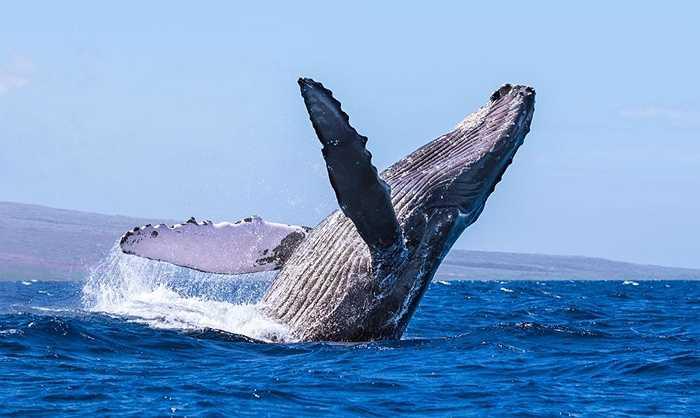 Hồi thế kỷ 19, số lượng cá voi có 150.000 con nhưng do quá trình đánh bắt thương mai hồi năm 1968 đã khiến số cá voi lưng gù giảm còn 20.000 con