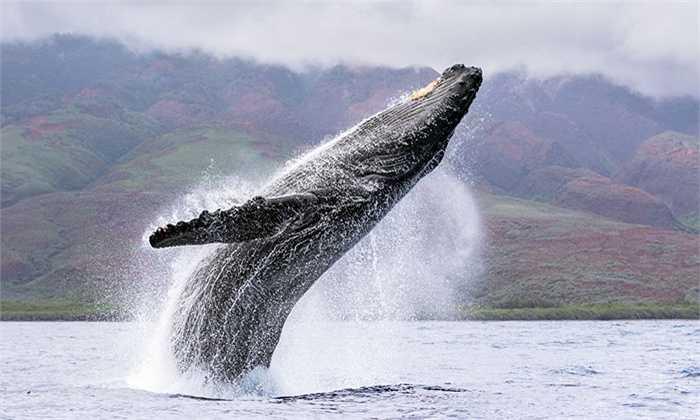 Nhờ công ước về cấm săn bắt cá voi nên số cá voi lưng gù thế giới hiện nay là 35.000 con. Trong đố, tập trung ở Nam Bán Cầu, Thái Bình Dương và Đại Tây Dương