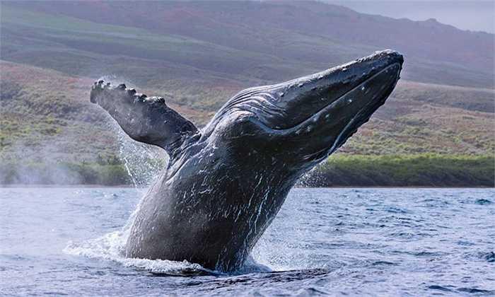 Khoảng một nửa trong số các cá voi lưng gù đang sống trên địa cầu thường di cư từ Nam Thái Bình Dương lên Alaska để sinh sản vào mùa hè