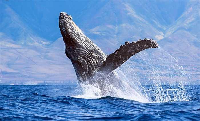 Quãng đường di chuyển này mất 6-8 tuần và cá voi lưng gù không ăn thức ăn gì