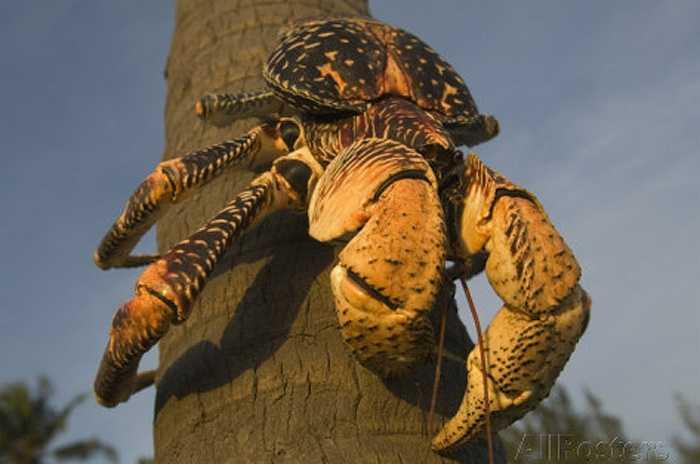 Ở đảo Christmas ở Ấn Độ Dương, có loài chân đốt trên cạn lớn nhất thế giới. Đó là loài cua Coconut Crab, còn gọi là cua dừa.