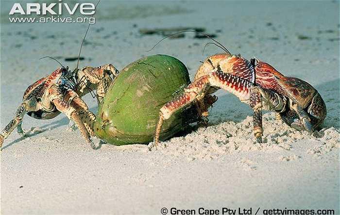 Sở dĩ chúng có tên là cua dừa, bởi chúng là loài đặc biệt thích ăn dừa.