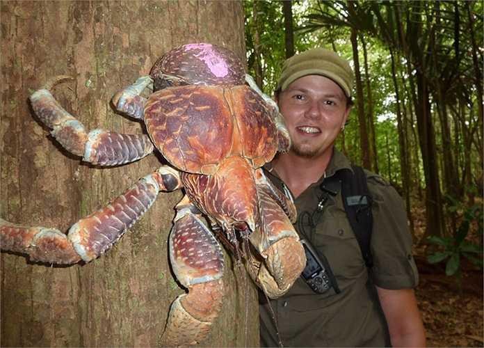 Nhiều chú rùa trên Christmas trở thành miếng mồi của cua dừa. Mặc cho những chú rùa thụt đầu vào trong bộ mai cứng, loài cua dừa cũng bổ được mai để ăn thịt rùa.