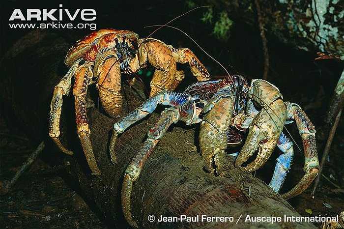 Thậm chí, cua dừa còn tấn công cả con người khi con người dám động chạm vào nơi ở của chúng, hoặc trêu chọc chúng.