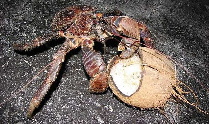 Theo các nhà khoa học, địa bàn phân bố của cua dừa vốn khá rộng, tuy nhiên  nó đã tuyệt chủng tại hầu hết các khu vực có dân số đáng kể, bao gồm đất liền Úc và Madagascar.