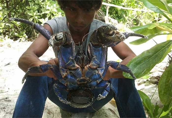 Cua dừa không thể bơi, và sẽ bị chết đuối nếu chìm trong nước khoảng một giờ đồng hồ.