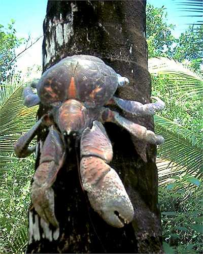 Đôi càng khổng lồ, cứng như thép của loài cua này dễ dàng bóc lớp vỏ dai và bổ dừa để uống nước, móc cùi thưởng thức.