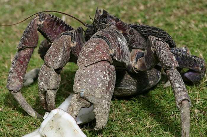 Ban ngày, chúng ẩn mình để tránh mất nước vì nhiệt. Hang của cua dừa có những sợi mảnh nhưng rất chắc chắn từ vỏ dừa mà chúng lót bên dưới.