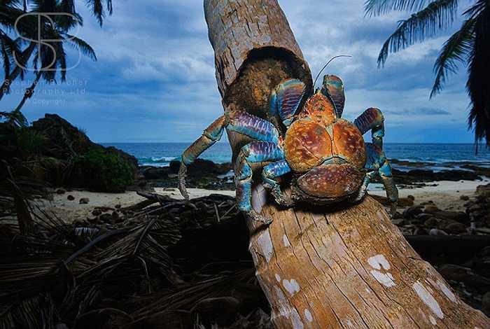 Loài cua dừa không chỉ có trọng lượng khủng, khi nặng 4,5kg, dài tới 1m, mà còn có tuổi thọ tới 60 năm.