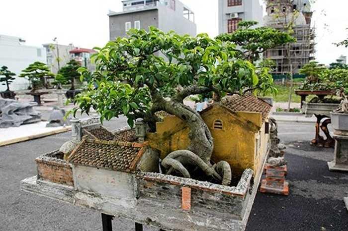 Anh Nguyễn Ngọc Quý cho biết: 'Tại thời điểm mới mua tiểu cảnh, cây sanh còn khá nhỏ, nên khi lần đầu tiên anh mang tiểu cảnh dự Festival cây cảnh ở Huế, anh khá lo cây sẽ bị héo'. Tuy nhiên, thời điểm hiện tại, cây đã rất đẹp và góp phần tạo khung cảnh nên thơ cho toàn bộ tác phẩm.