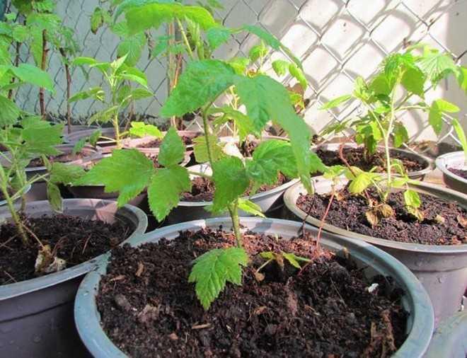 Được cho là có tác dụng phòng ung thư nên cây giống mâm xôi đang được nhiều người đặt mua về trồng.