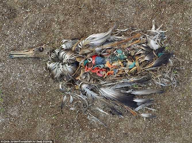 Trên đảo Midway, một con hải âu chết do ăn phải quá nhiều nhựa, rác thải trên biển.