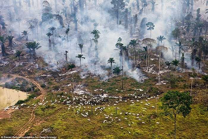 Tại rừng Amazon, Brazil, một bên người ta đốt trụi cây lá, một bên người ta chăn nuôi động vật ăn cỏ.