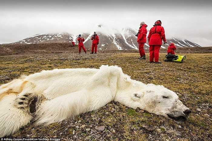 Một khu vực tại vịnh phía tây quần đảo Svalbard vùng Bắc Cực đến nay đã không còn băng cho con gấu này sống. Nó đã chết vì đói và mệt trên đường đi về hướng bắc để tìm kiếm một ngôi nhà mới.