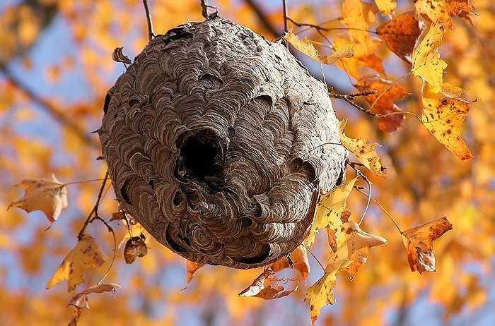 Ong vò vẽ thường trộn bột gỗ, nước bọt của chúng và nhựa cây thành một hỗn hợp kết dính. Chúng sẽ dùng hỗn hợp này để xây tổ