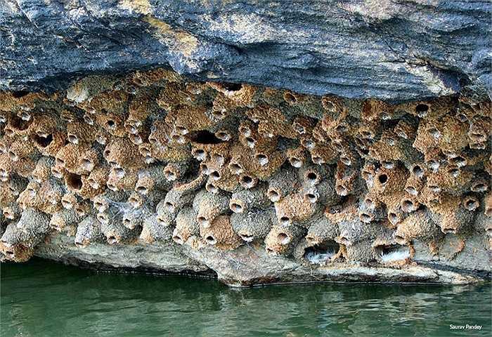 Chim nhạn xây tổ bằng chính nước bọt của chúng